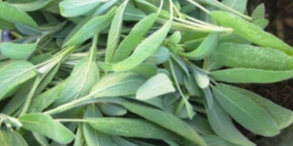 Sage for your sore throat