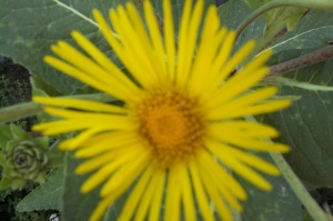 Elecampane ! One of Mother Nature's Glorious Gifts!