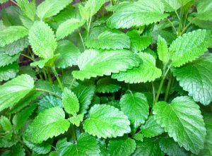 Lemon Balm Herbal Tea Garden