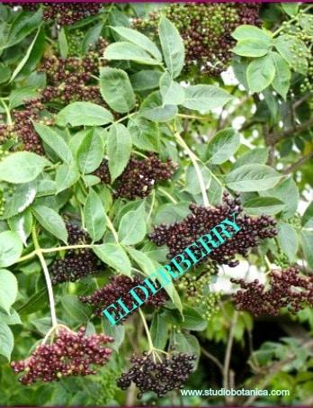 Elderberry Medicine