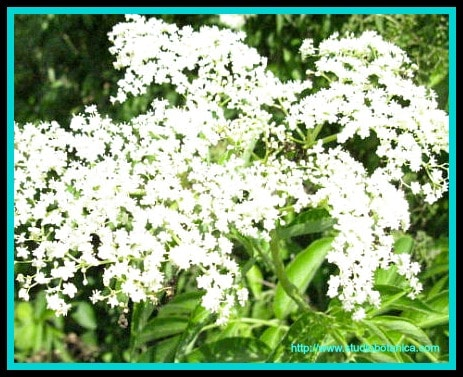 ElderFlowers in Congestion Tea