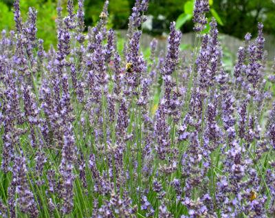 LavenderIHAsm