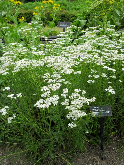 Yarrow is a part of Herbal tea for Congestion