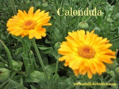CalendulaCLsbC