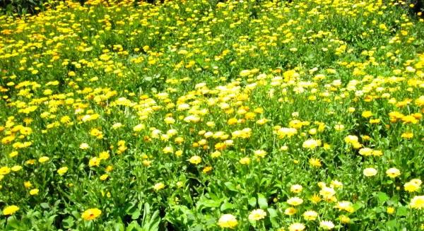 Calendula Medicine Meadow