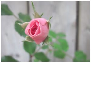 Rose Bud is part of Rose Vinegar