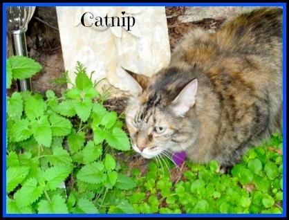 CatnipSB