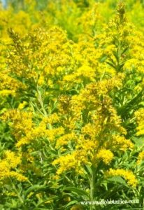 Glorious Goldenrod