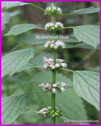 Motherwort Herb FB SB