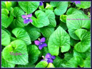 I LOVE Violets!