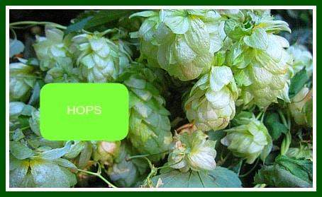 Hopsflowers