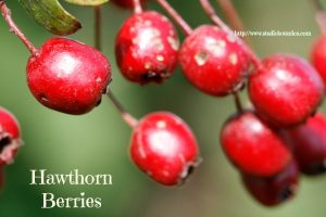 Hawthorn Berries are a part of Hearts Ease tea