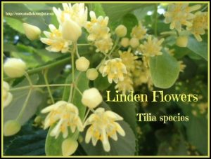 Linden flowers soothing. Help with grief support