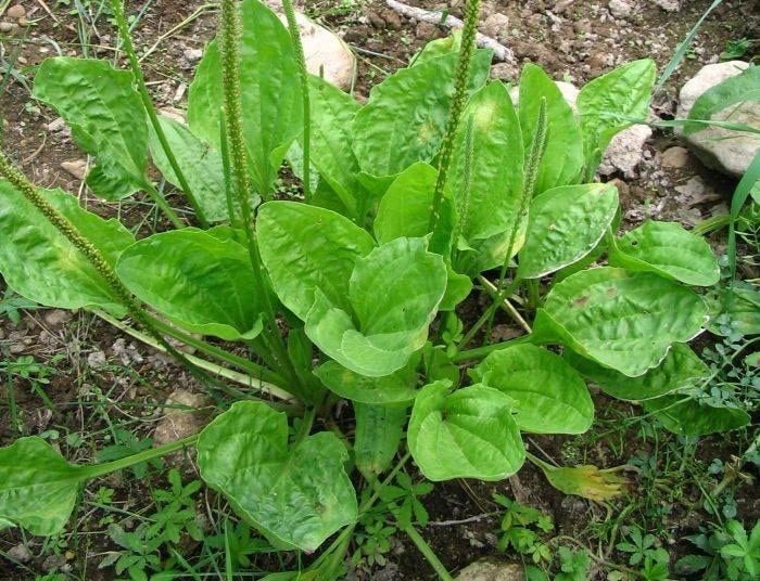 Plantain Herb A Versatile Natural Antibiotic And Edible