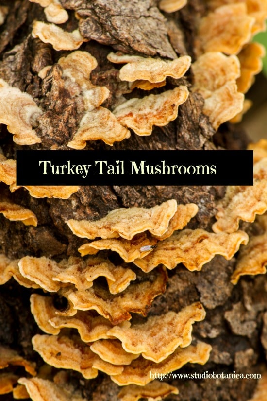 TurkeyTails550sb