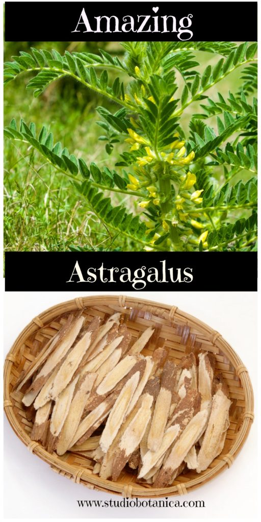 Amazing Astragalus Duo Vert