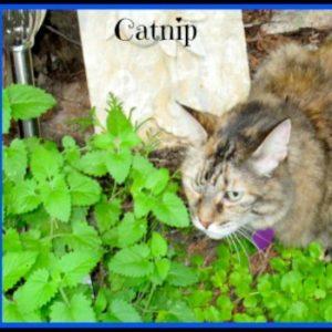 Catnip in Kiddie Calm tea
