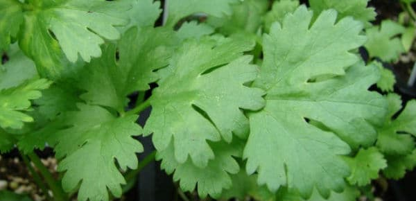 Image result for Cilantro herb